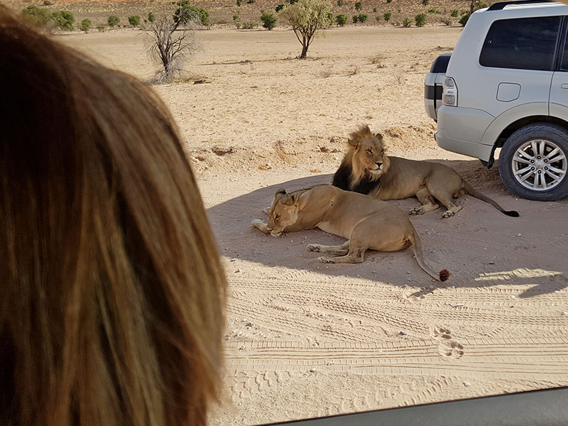 Lions taking a break on our Kalahari Safari Photography tour